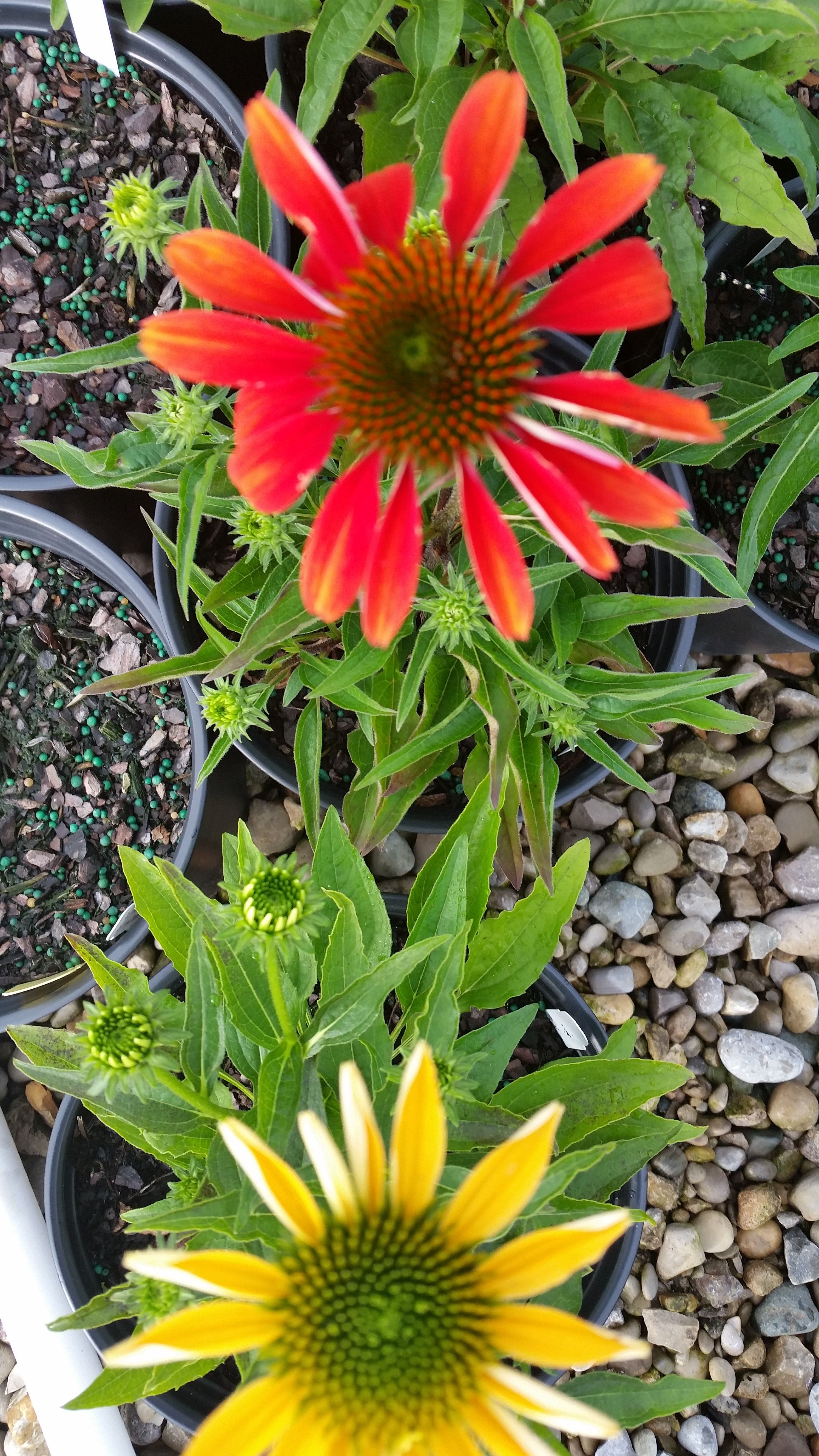 Echinacea 'Cheyenne Spirit'. Multiple colors on the same plant!