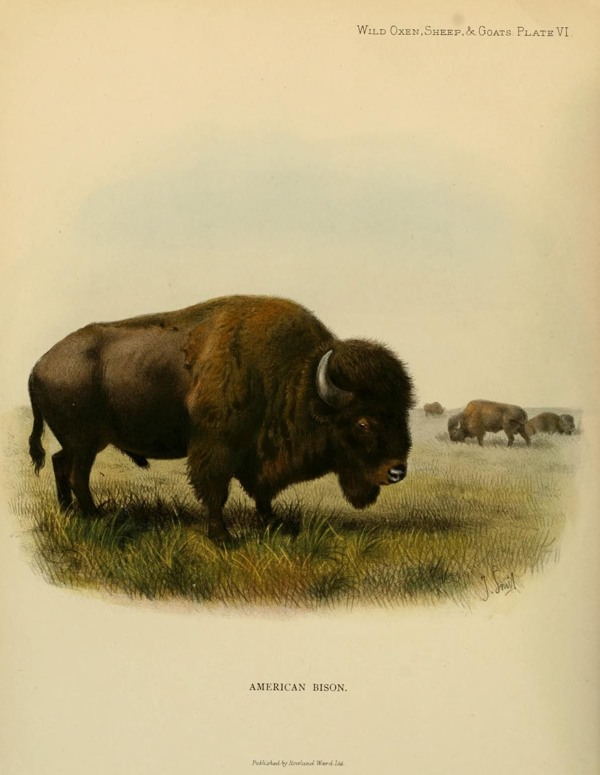 Wild Oxen Sheep Amp Goats Of All Lands Living And Extinct