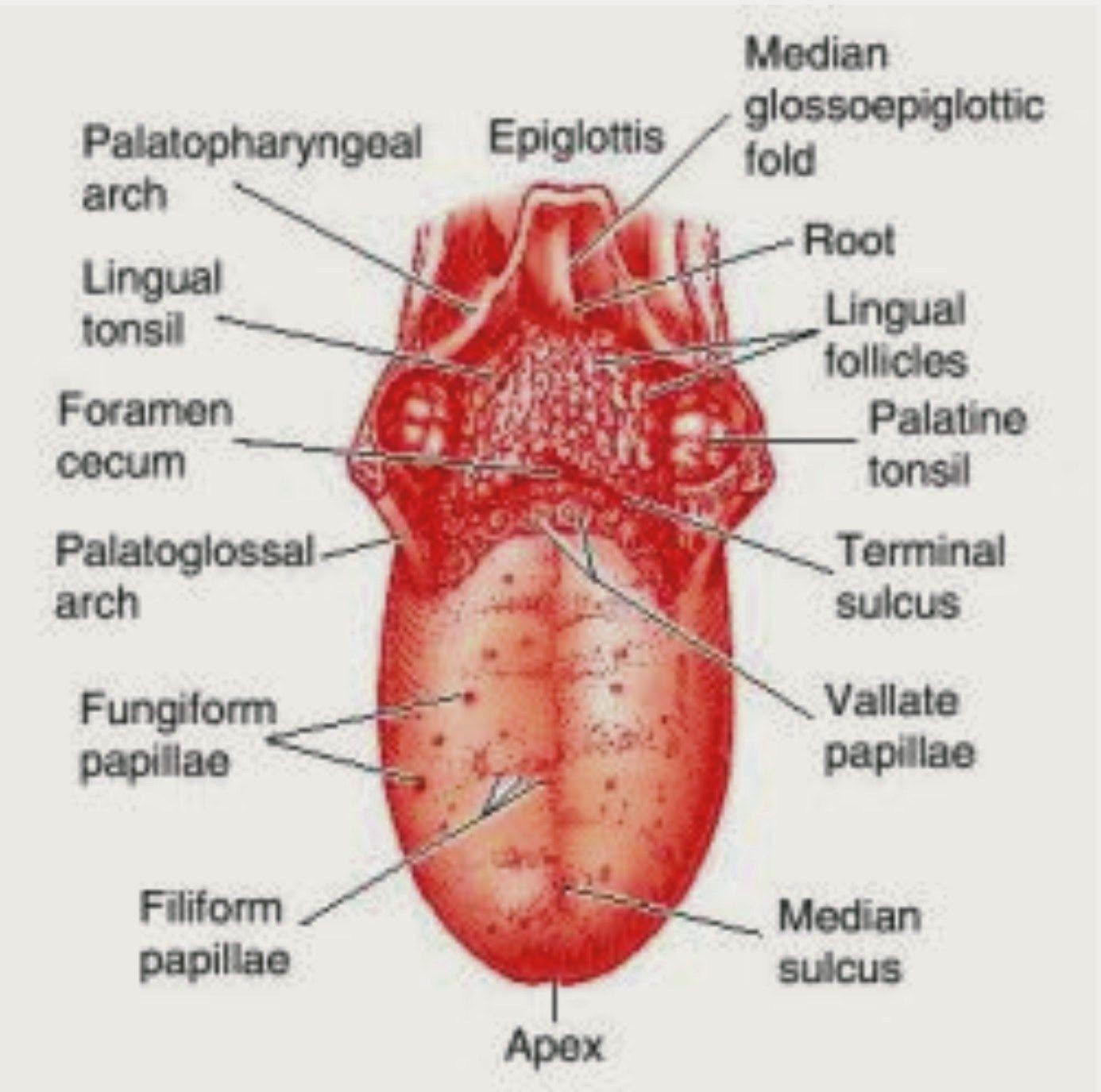 Vallate Papillae Swollen