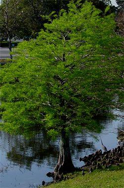 Landscape Trees Bald Cypress Taxodium Distichum Landscape Bald Cypress Landscape Trees