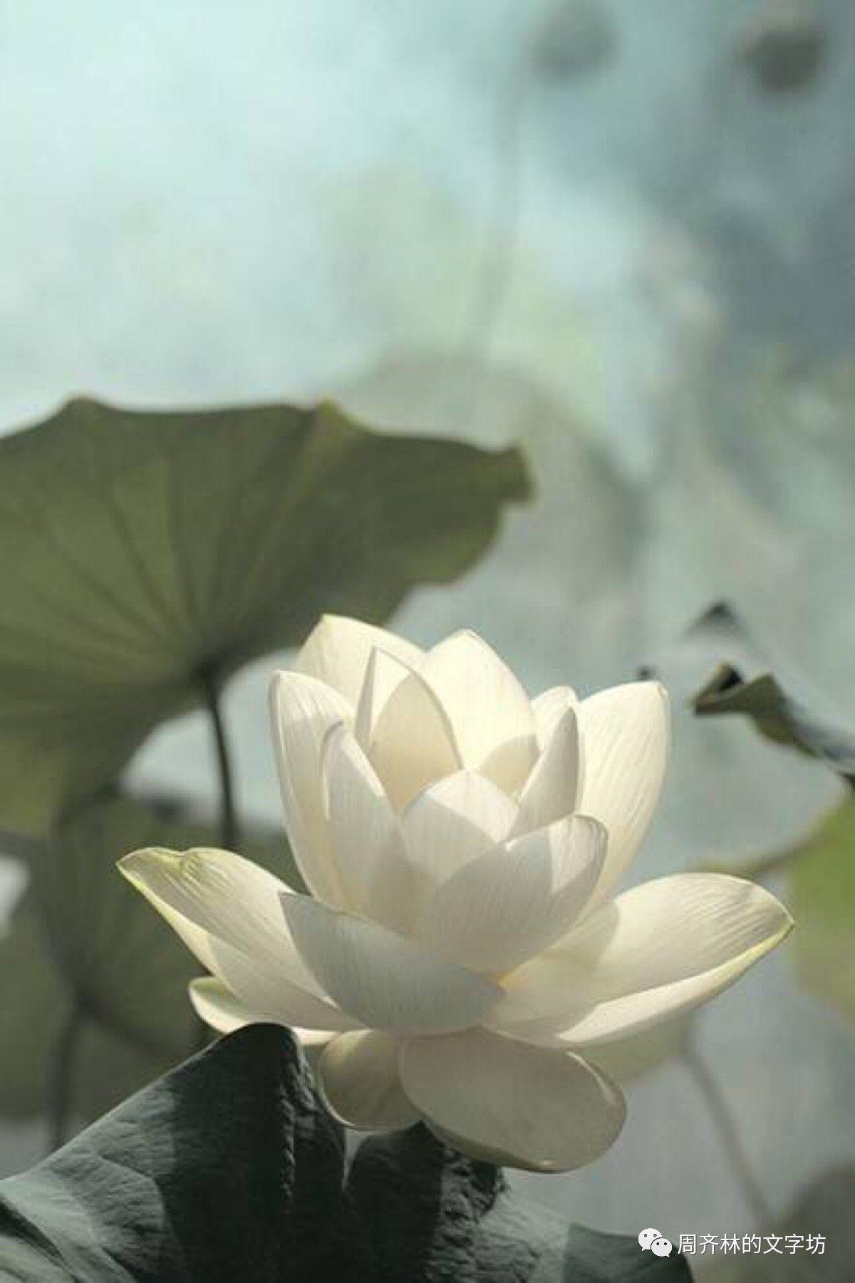 Resultado De Imagem Para No Mud No Lotus Pictures Pinterest