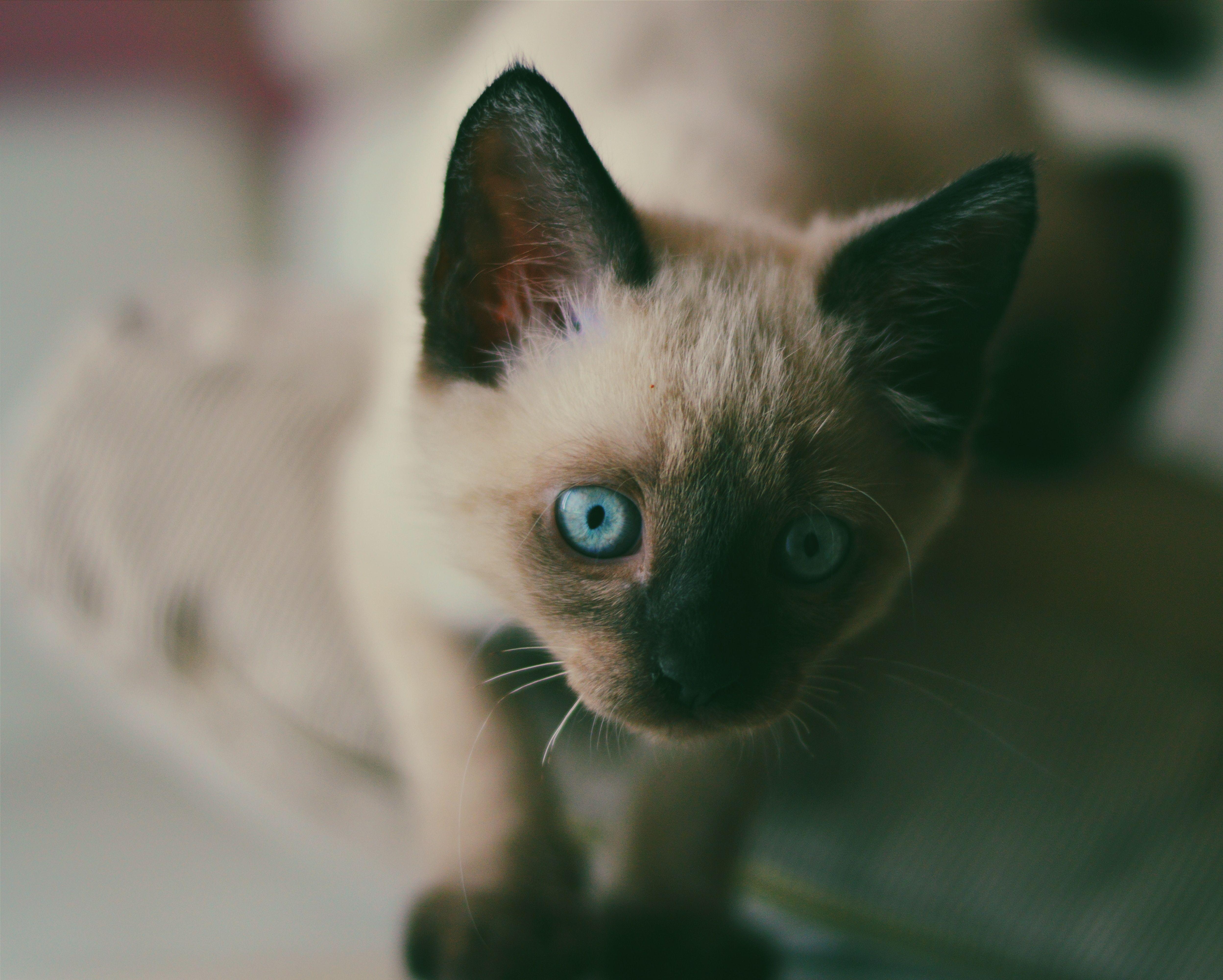 Chat Siamois En 2020 Cute Kittens Races De Chats Chats Adorables