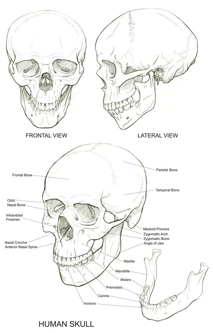 Skull Reference Drawing Techniques Pinte
