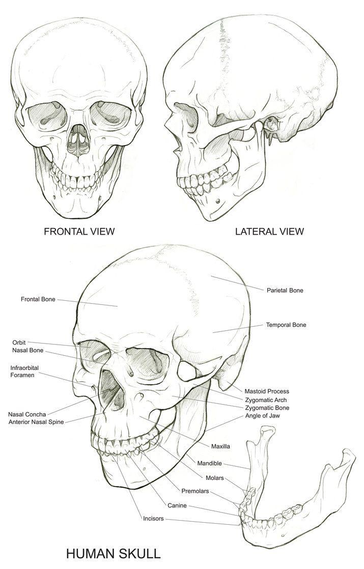 Skull reference | Skulltastic | Pinterest | Anatomía, Dibujo y Calaveras