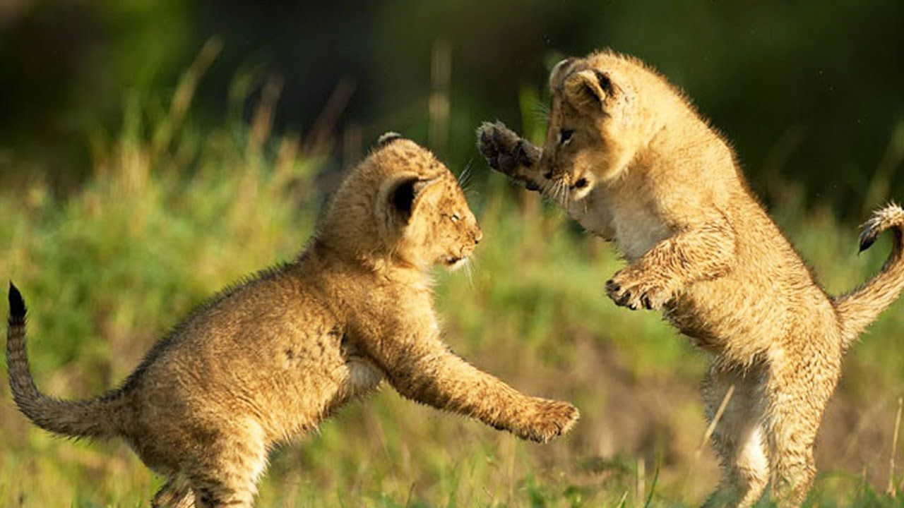 Facts Lion cubs playing, Cute lion, Cute baby animals
