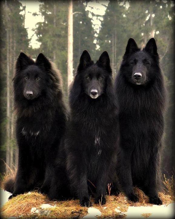 black wolfs