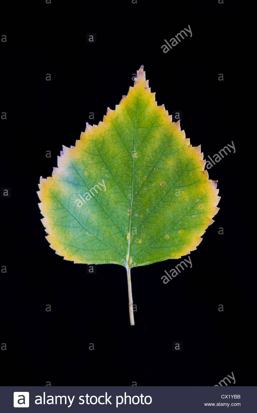 A Paper Birch Leaf (betula Papyrifera) Changes Color In Autumn ...