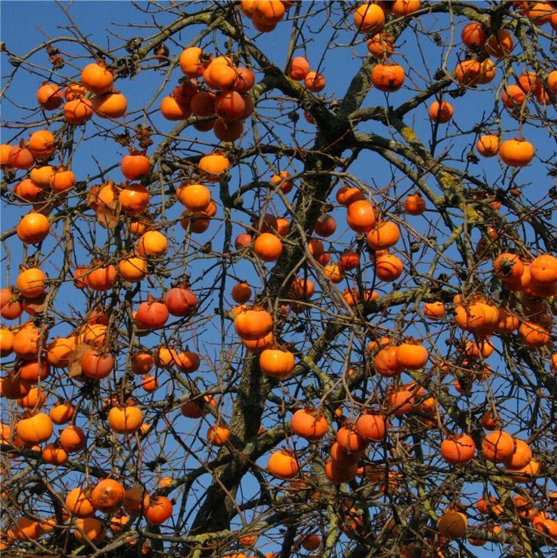 Pingl par bijoux taamak sur de plante fruit - Arbre a kaki ...