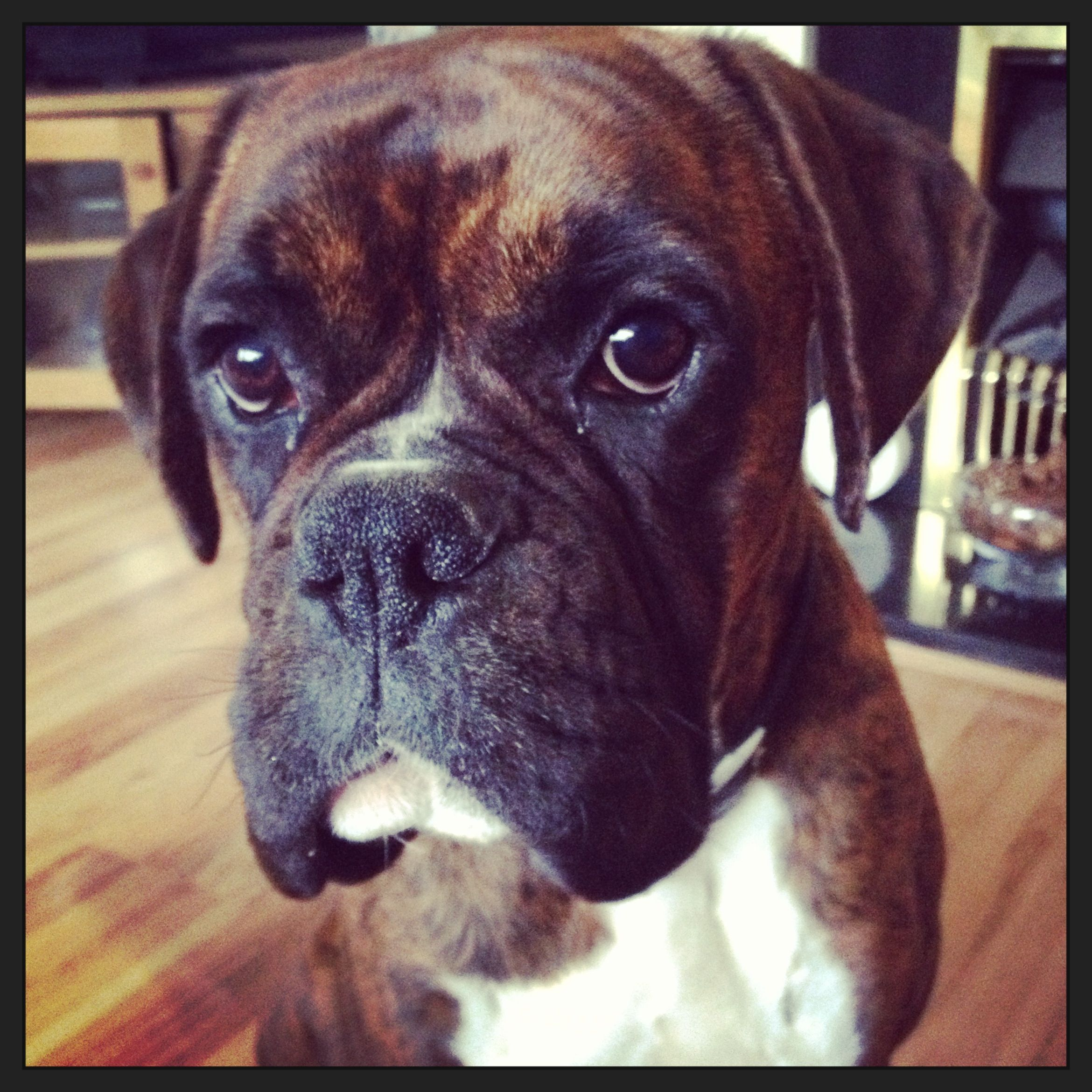 Travis My Gorgeous Boxer Dog With Images Boxer Dogs Funny Boxer Dogs Boxer Puppies