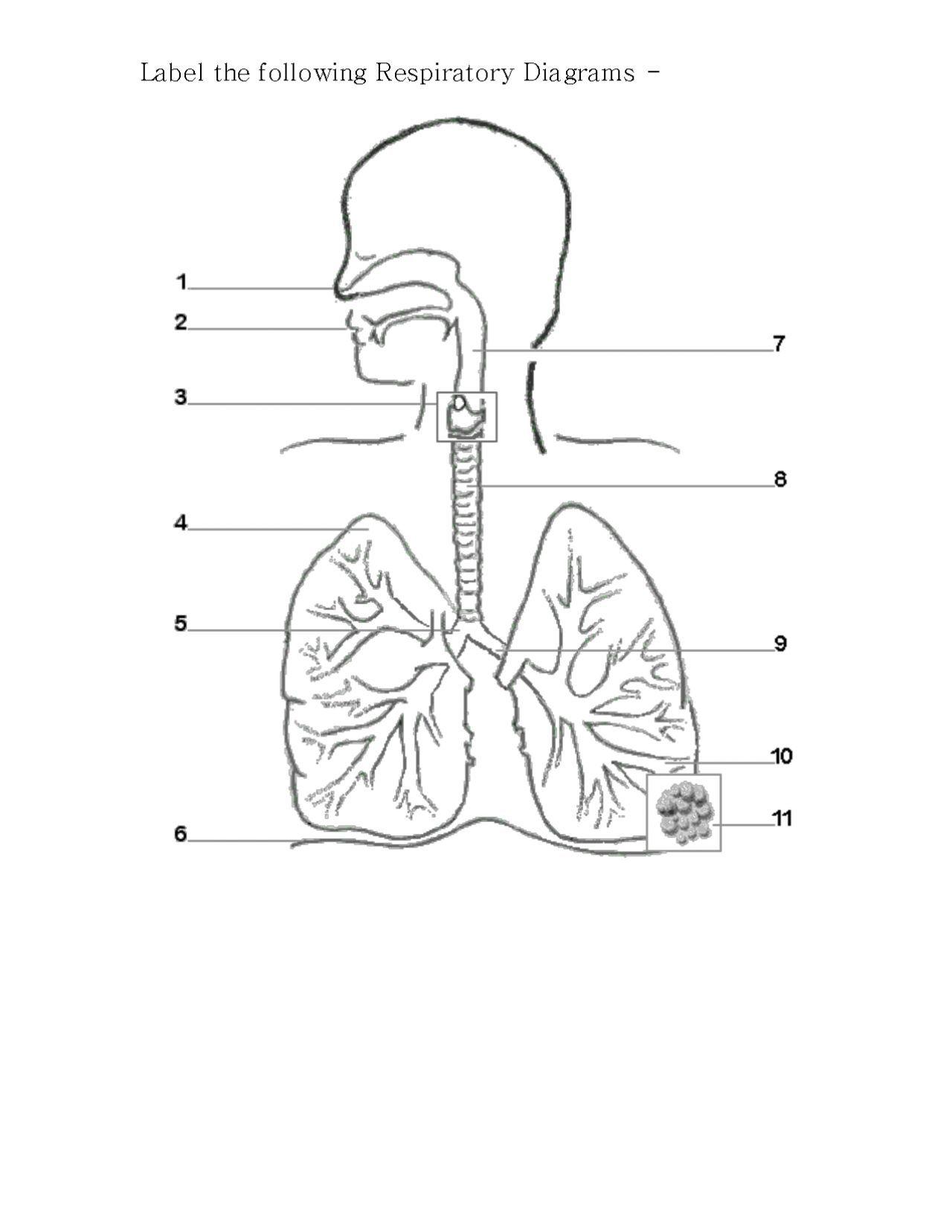 Respiratory System Diagram to Label