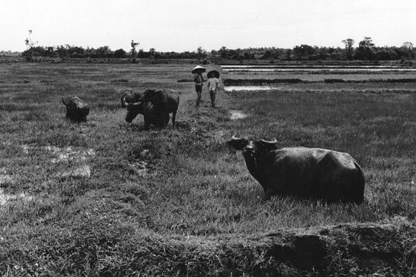Vietnam 1971- Water Buffalo Being Tended By Children - Saigon Area