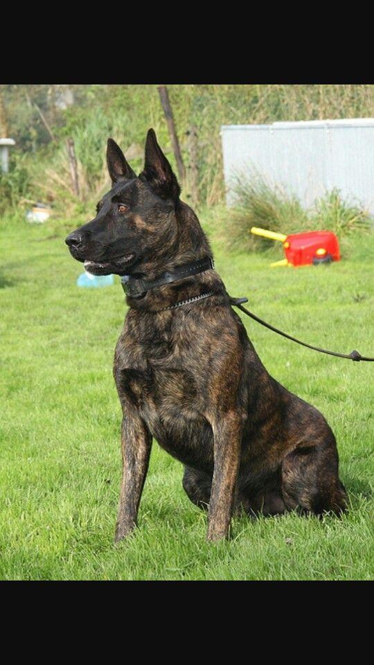 Dutch Shepherd Powerful Gorgeous Dutch Shepherd Dog