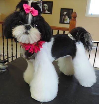 How To Groom A Female Shih Tzu Google Search Dog Grooming Diy Dog Grooming Shih Tzu Asian Dogs