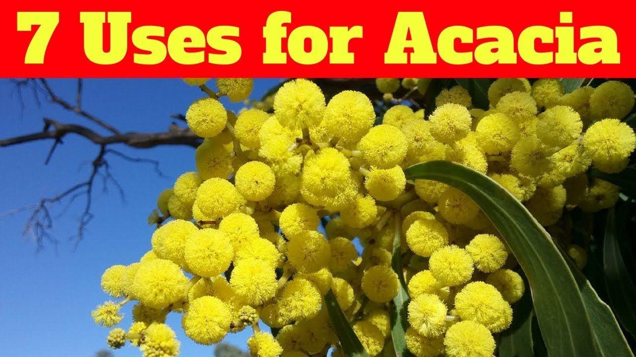 7 Uses For Acacia Acacia Vegetables Cauliflower