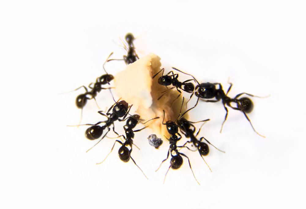8 Natural Remedies To Get Rid Of Household Insects Household Insects Tree Hugger Insects