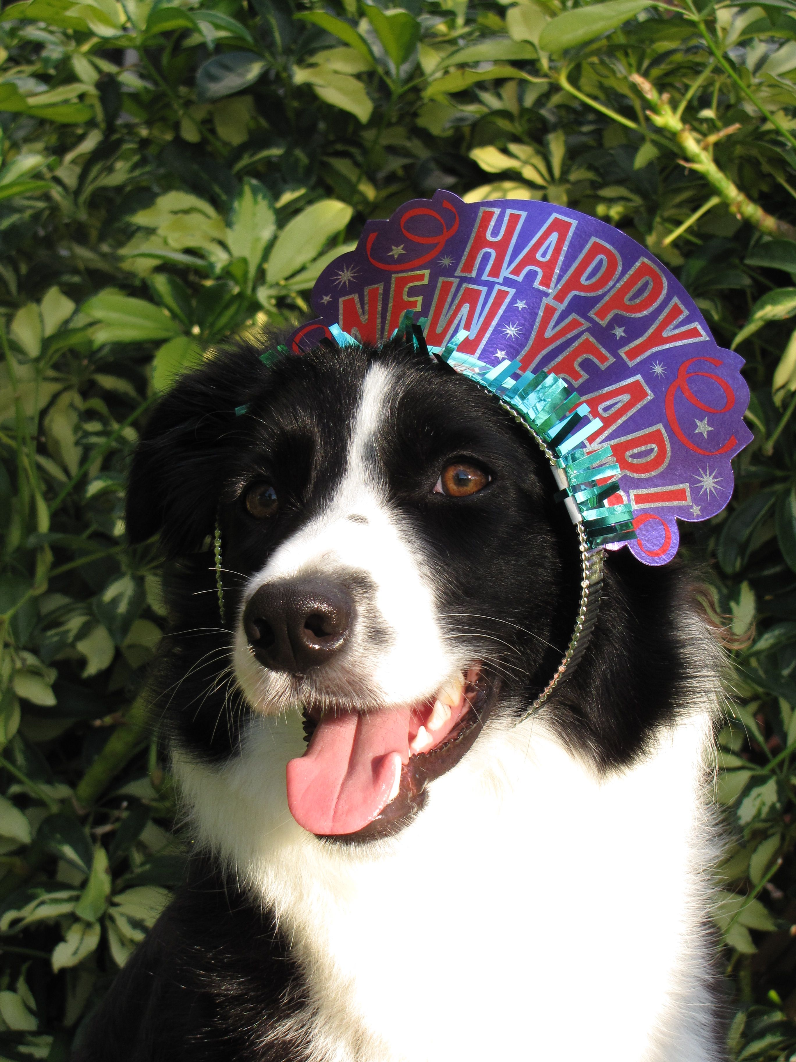 Happy New Year   Border Collies   Pinterest   Collie and Dog Happy New Year