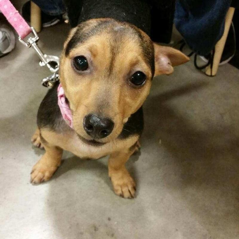 Adopt Bobby Buttons On Adoptable Dachshund Dog Animal Rescue Dogs