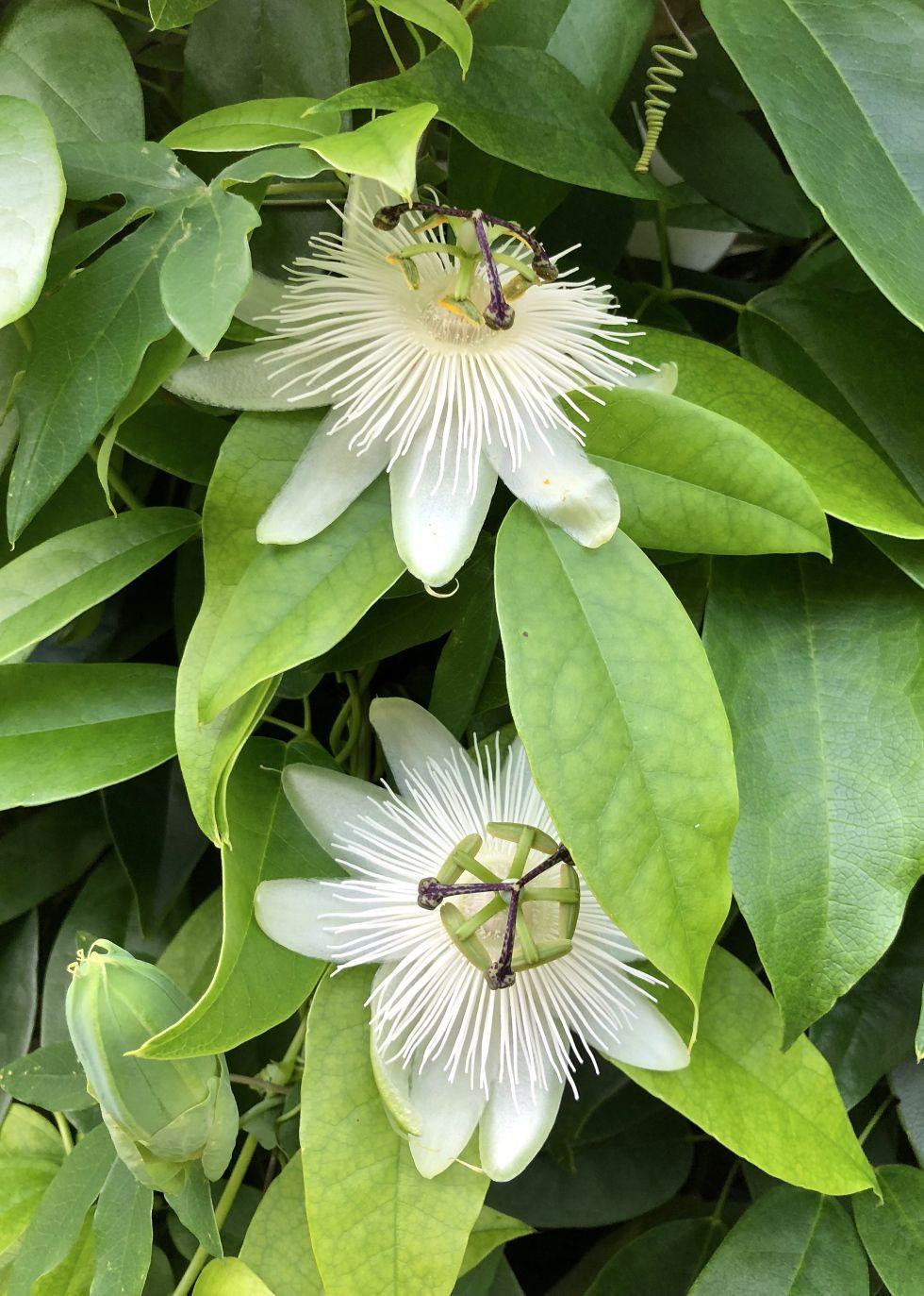 Plant Profile Passiflora Snow Queen Plants Passiflora