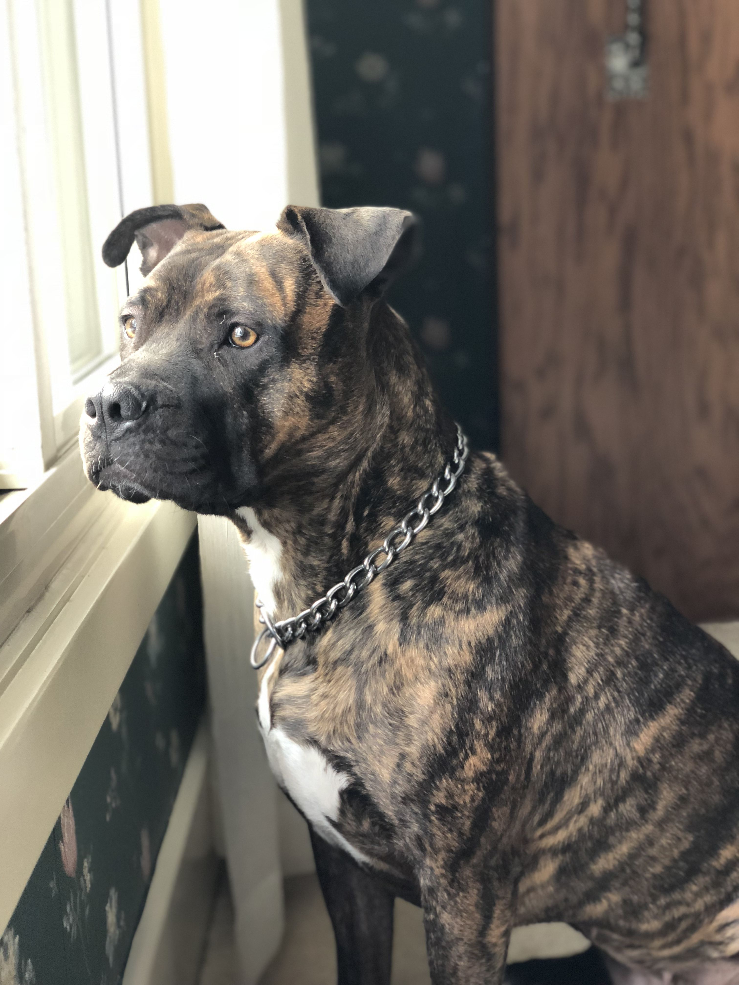 American Pit Bull Terrier dog for Adoption in Akron, OH