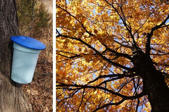 Home-Scale Maple Syrup Production | Homesteading and