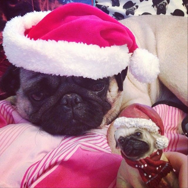 See The Resemblance Is Uncanny Very Cute Puppies Pugs
