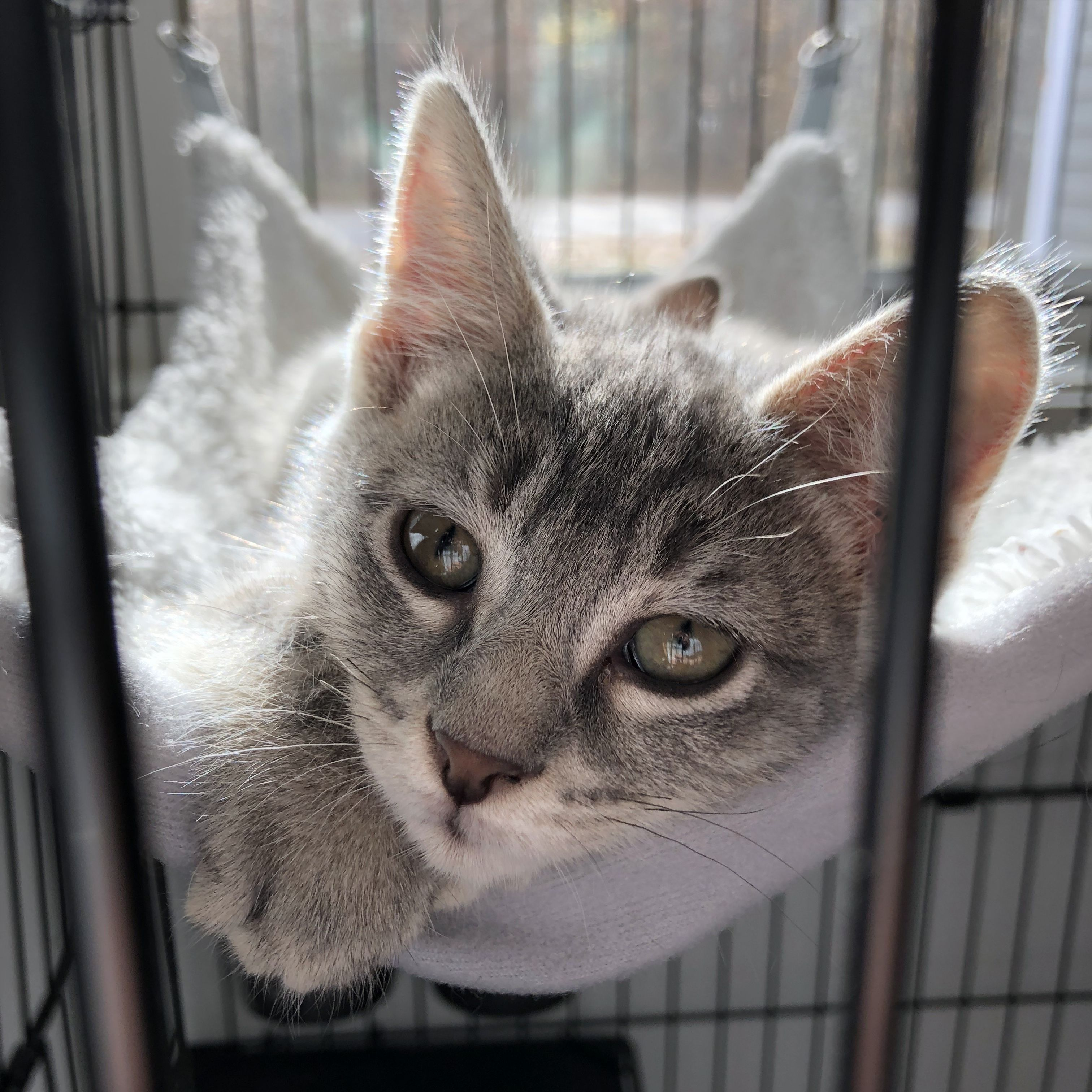 Adopt MACIE on Cat adoption, Cats and kittens, Cats