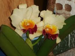 Resultado de imagem para orquideas raras