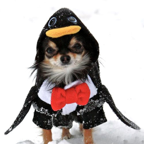 Penguin Halloween Dog Costume  sc 1 st  Pinterest & Penguin Halloween Dog Costume | Halloween costume ideas! | Pinterest ...