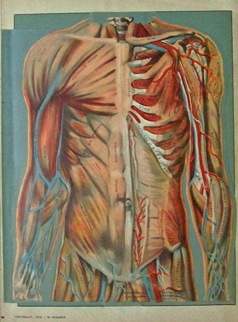 1912 Color fold-out showing the upper part of the human body on the ...