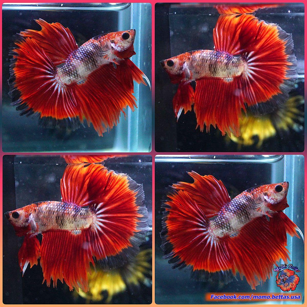 Live Betta Fish Male Fancy Multicolored Koi Galaxy Halfmoon ...