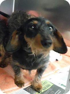 Knoxville Tn Dachshund Mix Meet Gertrude A Dog For Adoption