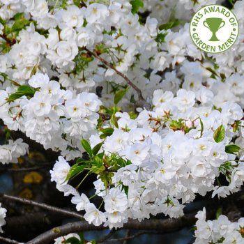 Prunus Shirotae Tree Flowering Cherry Tree Prunus Japanese Cherry Blossom