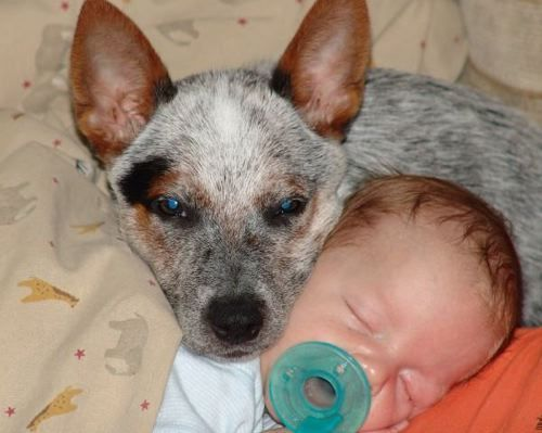 Cute picture of Kyan the baby and Goose the Australian Cattle Dog!