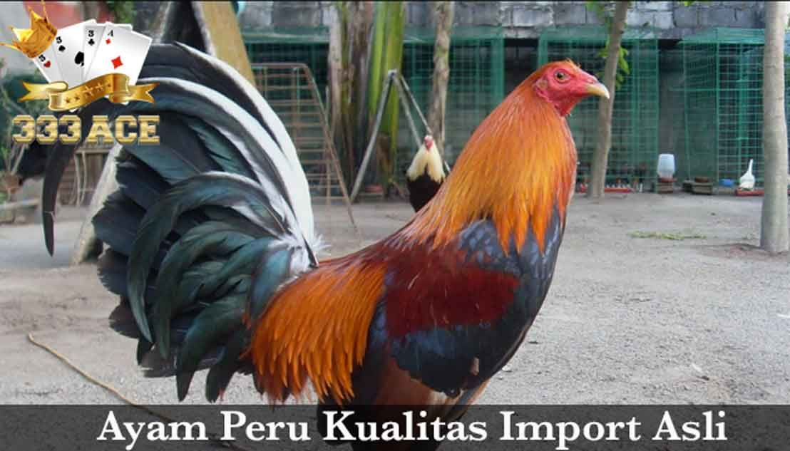 76+ Gambar Ayam Filipina Peru Paling Bagus