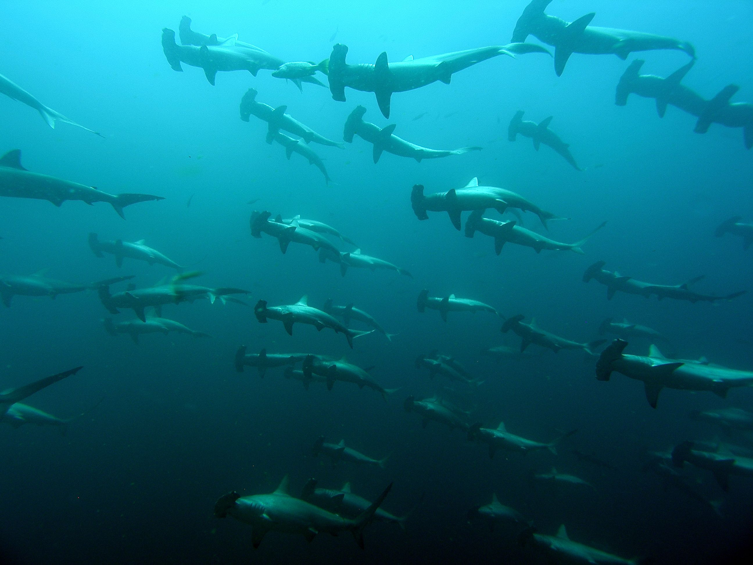 Hammerhead Shark Migration