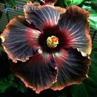 50 Black Dragon Cajun Hibiscus Flower Seeds Garden Home Perennial Flower Planting Flowers Unusual Flowers Black Flowers