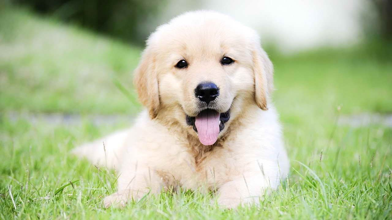 Baby Golden Retriever For Sale Retriever Puppy Golden