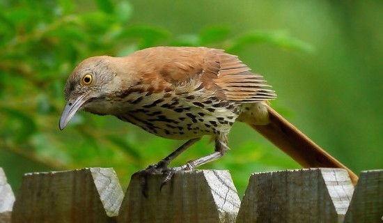 Brown Thrasher With Images Brown Thrasher Brown Bird Birds