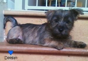 Adopt Kelvin On Terrier Dogs Terrier Mix Dogs Yorkshire Terrier
