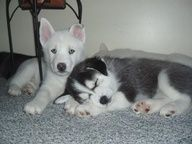 cute husky puppies  from ... APlaceToLoveDogs.com  dog dogs puppy puppies cute doggy doggies funny photography adorable funny fun silly