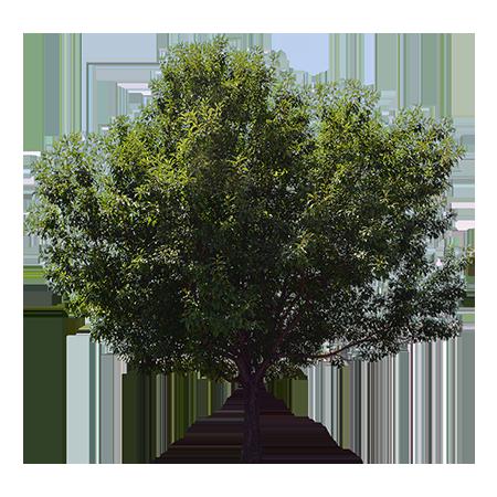 A Tall Green Ash Tree Providing Shade On A Hot Day Tree Photoshop Olive Tree Tree Illustration