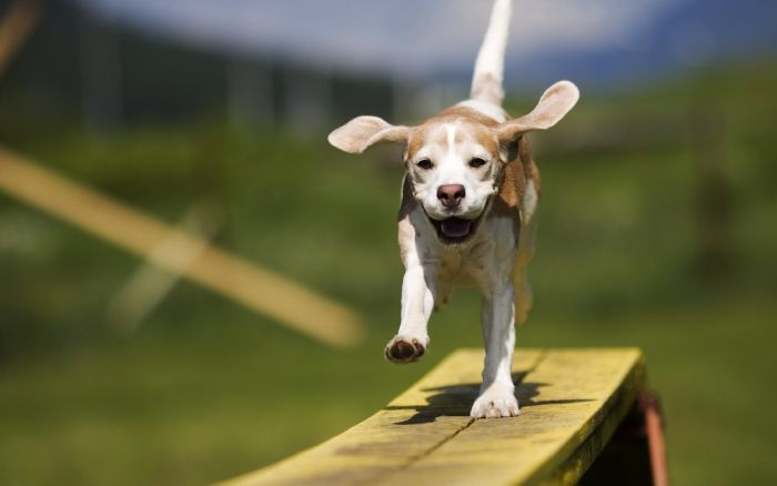 Pin By Shaundavidstevens On Beagles With Images Dog Party Dog Party Games Smiling Dogs