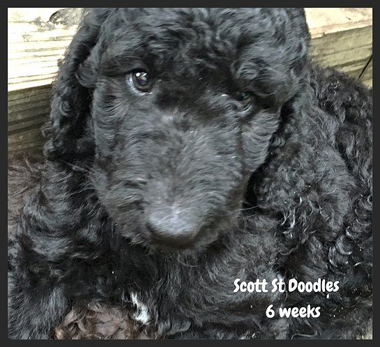 Double Doodle Male Puppy 6 Weeks Looking For A Home Double Doodle Puppies Doodle Puppy Double Doodle