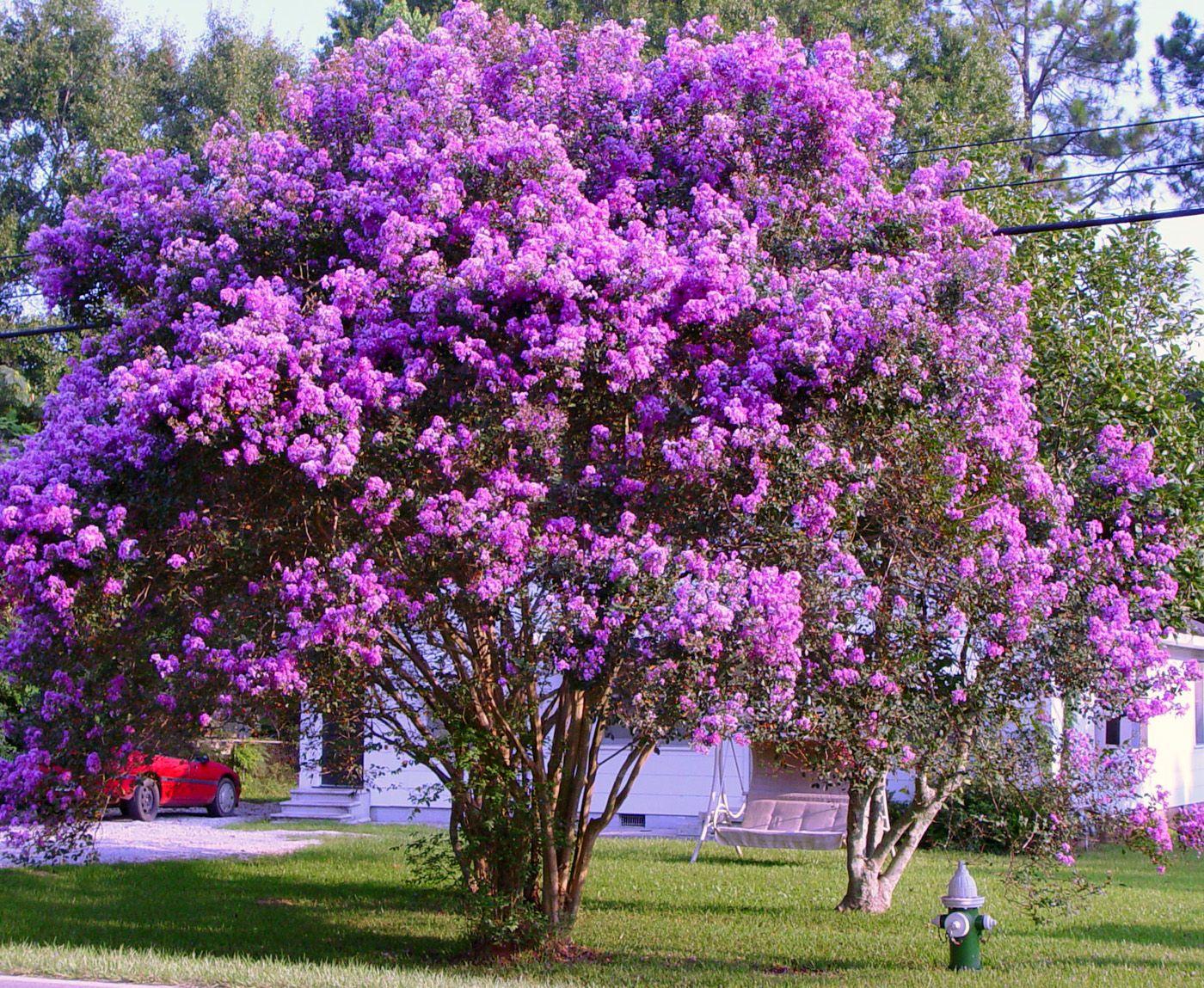 Purple Crepe Myrtle Tree Myrtle tree, Fast growing trees