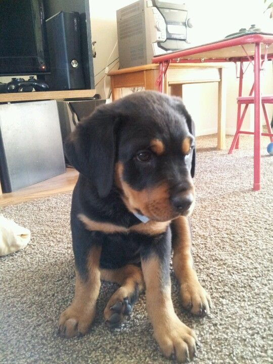 My Sweet rottweiler puppy! (With images) | Puppies For Sale In Turkey