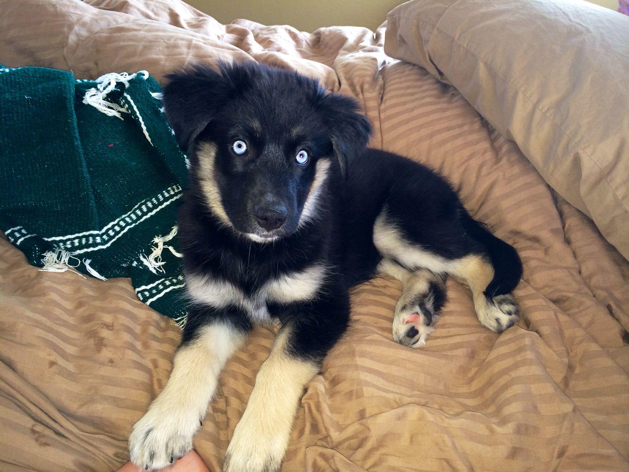 Goberian Puppy 11 Weeks Old Golden Retriever Siberian Husky Mix