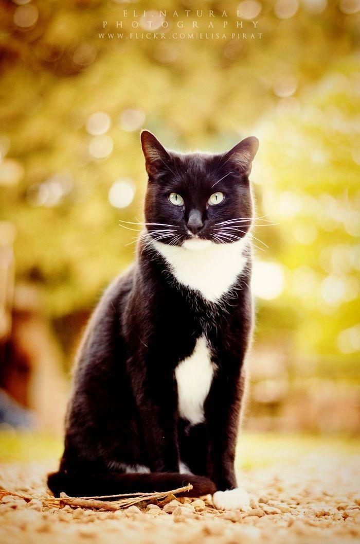 Tuxedo Cat Beaux Chats Chat Chat De Gouttiere
