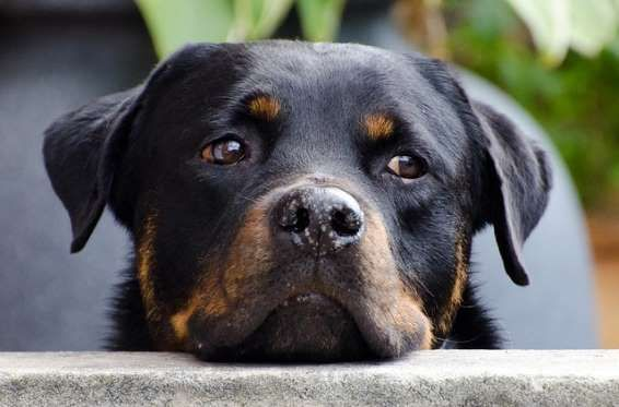 Fearless and intelligent, Rottweilers are one of the oldest herding breeds and can make wonderful co... - Pixabay