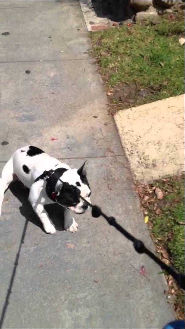 Stubborn French Bulldog Beauregard Won T Walk Home Dog French