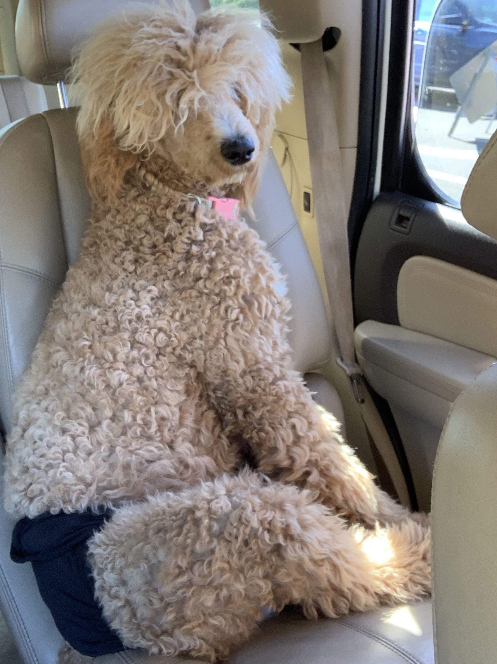 girlproblems standardpoodlefemale Standard poodle